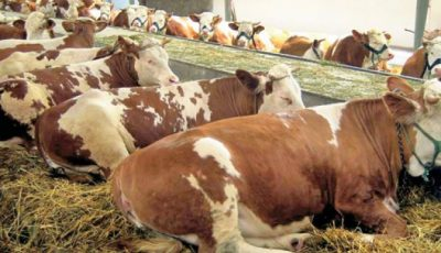 Krave, štala