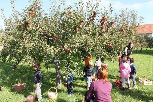branje jabuka