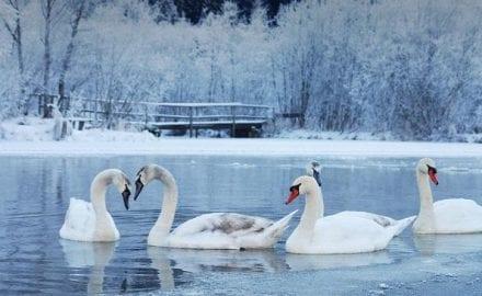 ptice zima