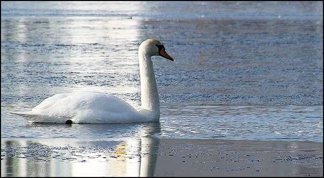Labud-zaleđeno-jezero