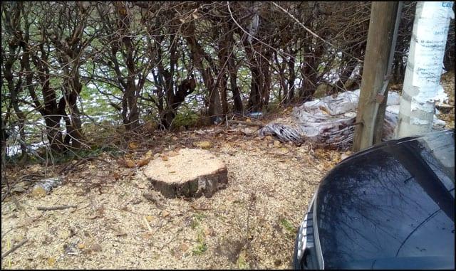 posečeno-drveće-2