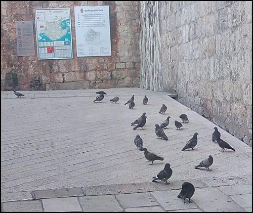 dubrovnik-golubovi