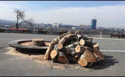 drvece-seča-kalemegdan