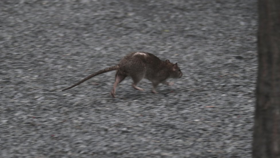 Rat with balding back