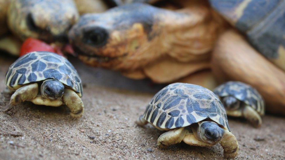 Critically endangered radiated tortoises