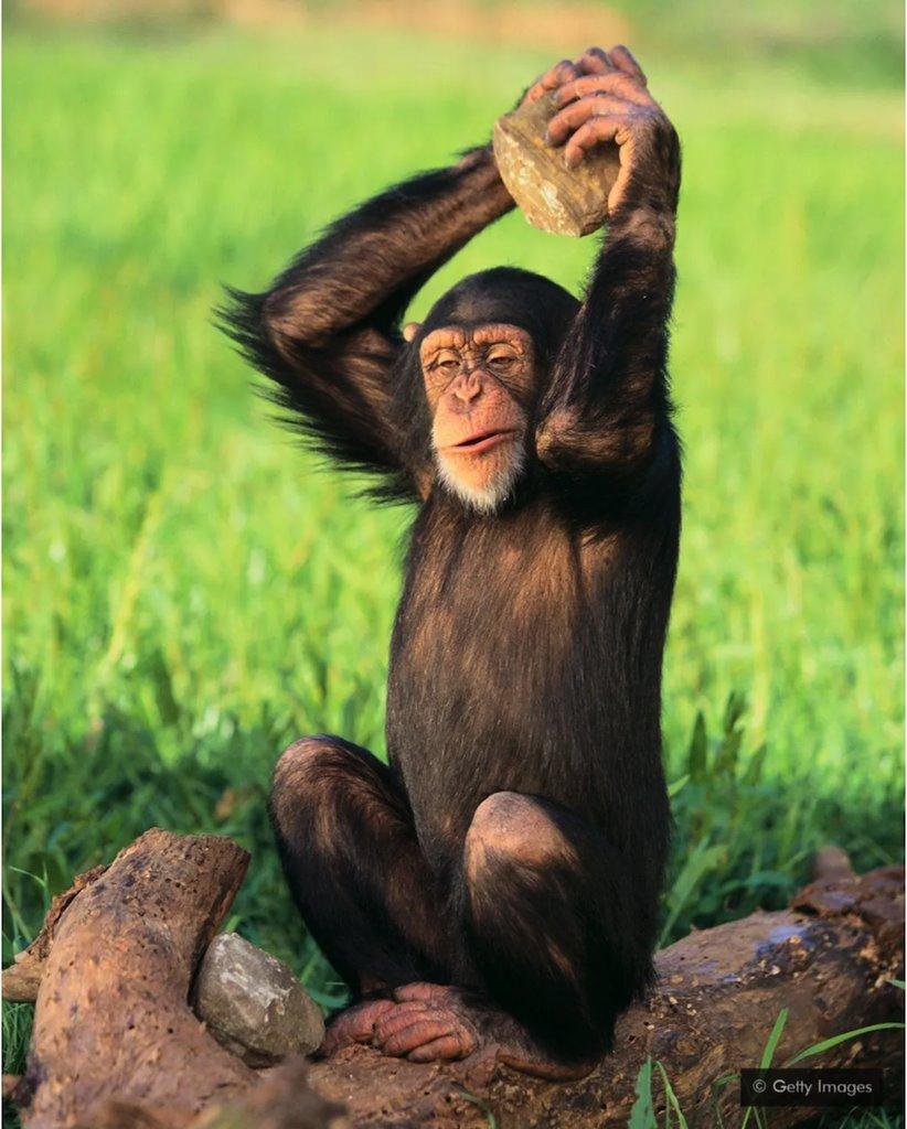 šimpanza