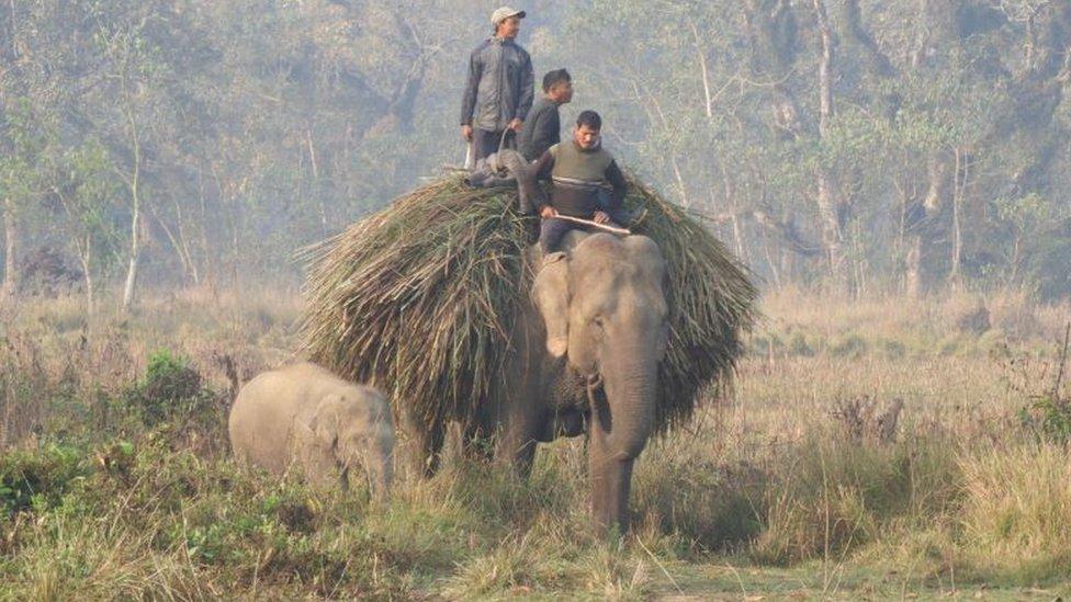 An elephant carrying fodder